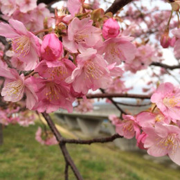 Blog0305sakura